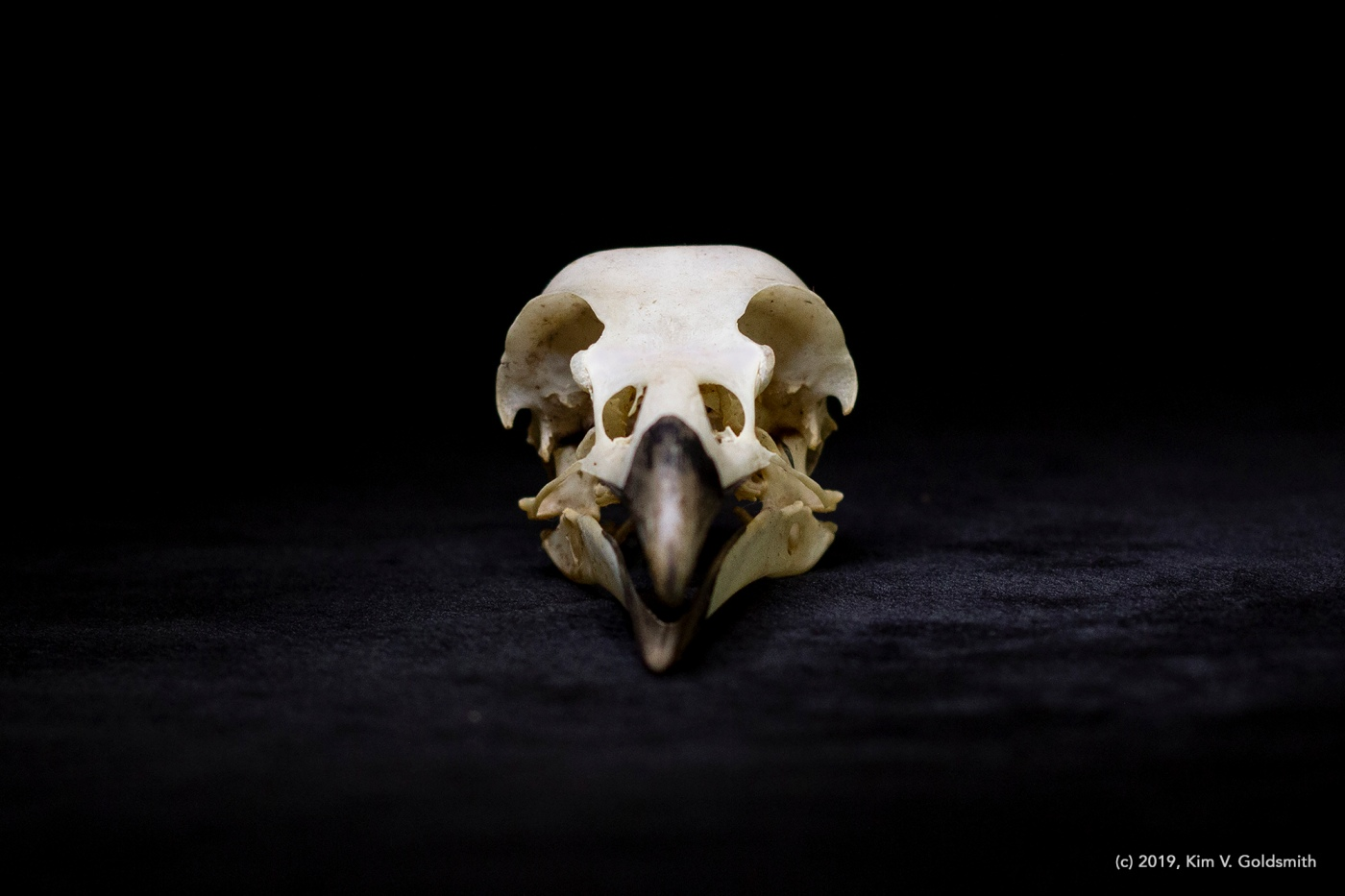 Kim V. Goldsmith artist Eye of the Corvus project