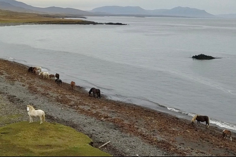Icelandic horses grazing on seaweed by Kim V. Goldsmith