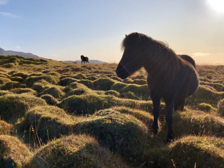 Curious Icelandic horse filmed by Kim V. Goldsmith